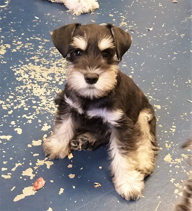 Available Puppies Rices Miniature Schnauzers